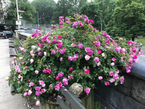 Heritage Rose Society, Riverside Drive